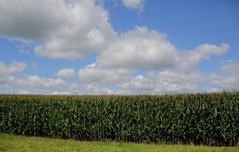 La Bolsa de Cereales de Buenos Aires informó sobre la finalización de la siembra de maíz (REUTERS/Joshua Lott)