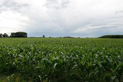 Las lluvias también beneficiaron a la campaña de maíz (Reuters)