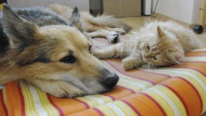 En los Estados Unidos, detectaron al menos 38 perros y 54 gatos con COVID-19 (Heyer/dpa)
