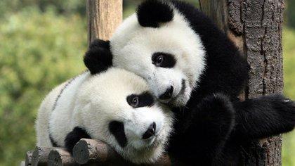 En 1981, China prohibió el comercio de la piel de panda y promulgó la Ley de Protección de la Vida Silvestre