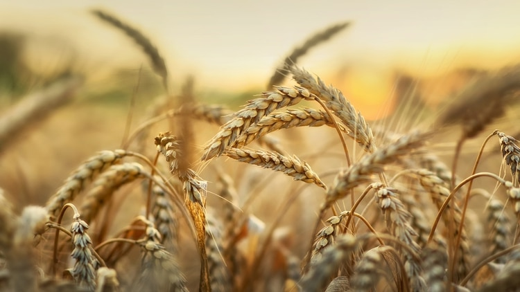 El clima complica la campaña de trigo. La Bolsa de Cereales de BuenosAires volvió a recortar su estimación de cosecha. (getty)