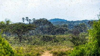 Una plaga de langostas pone en alerta a varios países de Sudamérica (Shutterstock)