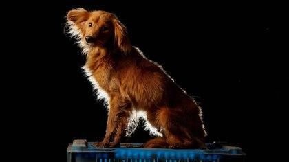 Los perros pueden detectar el COVID-19 a través del olfato con más de 90% de precisión