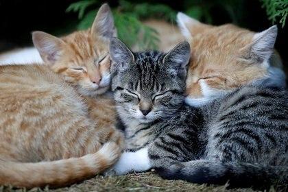 Los gatos son criaturas en extremo sensibles que expresan una multitud de sentimientos mediante su lenguaje corporal, explicó el veterinario japonés (Reuters/ David W Cerny)