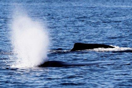 Alrededor de un tercio de las 270 ballenas piloto varadas en el sur de Australia han muerto, apuntan los rescatistas australianos al señalar que el complicado operativo para salvar a estos cetácetos podría durar días. EFE/ Esteban Biba/Archivo