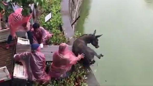 YouTube: Espeluznante video de burro lanzado vivo para alimentar a tigres hambrientos