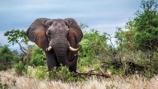 Los elefantes pueden llegar a pesar más de 100 toneladas y vivir hasta los 80 años (Getty)