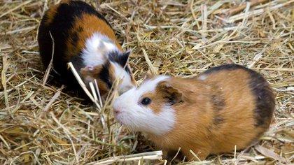 El curiel, también conocido como cobayo o conejillo de indias, es un roedor oriundo de América del Sur (Shutterstock)