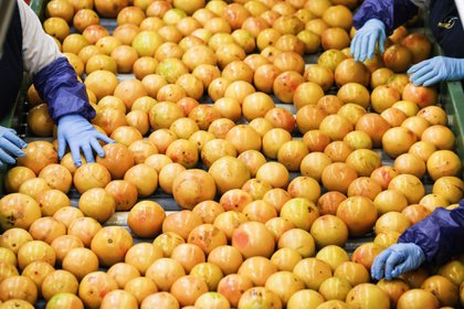 Workers sort grapefruits at the Premier Citrus LLC packing facility in Vero Beach, Florida.