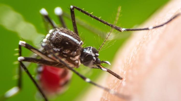 La enfermedad se transmite a través de la picadura de un mosquito. (Foto: Shutterstock)