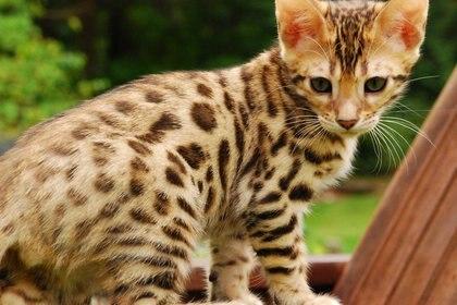 El patrón de manchas en los gatos domésticos no se hizo habitual hasta la Edad Media, tras aparecer en el siglo XIV en Turquía occidental