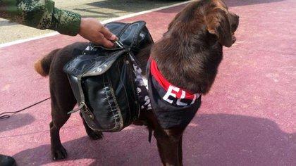 Al perro le realizan estudios para saber si puede ser reentrenado por un centro militar canino.