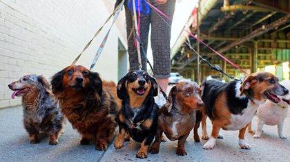 Los paseadores caninos fueron habilitados a volver a trabajar en el municipio de Tigre (Shutterstock)