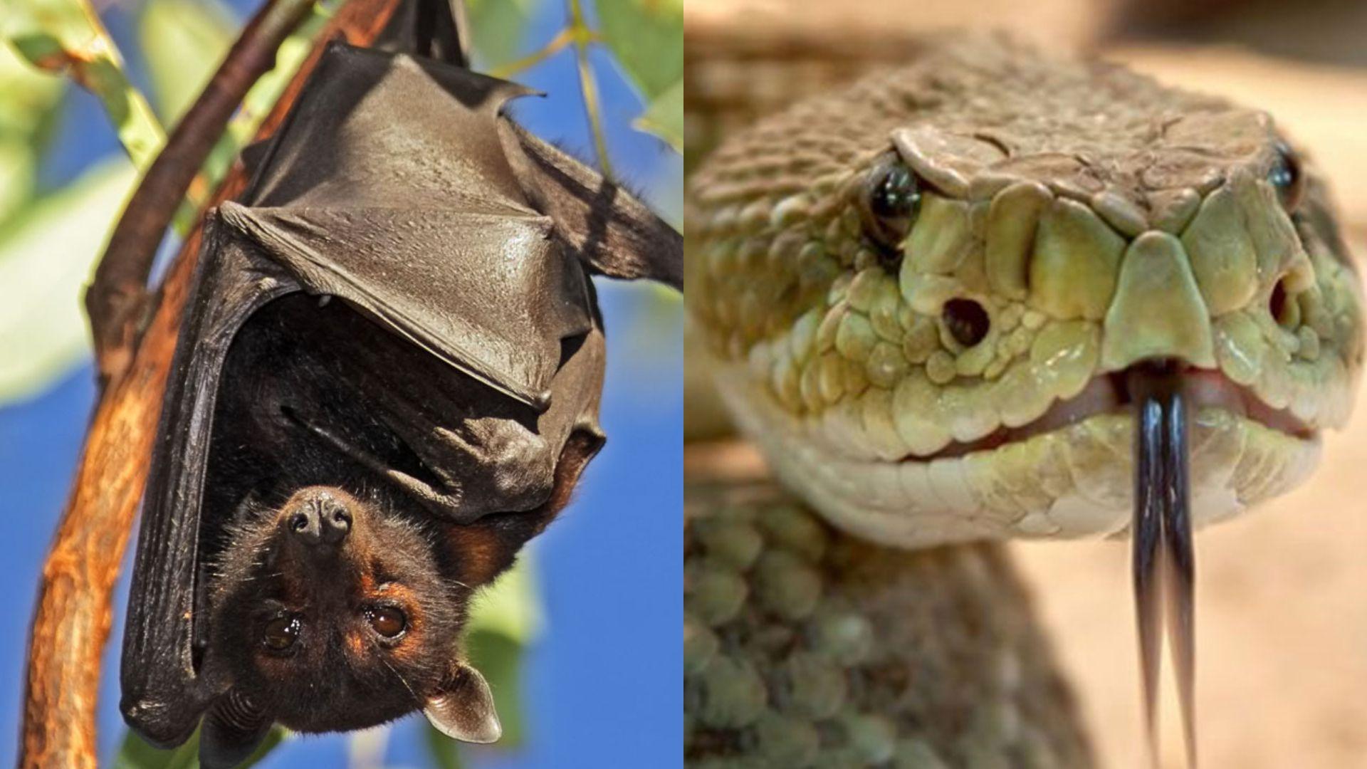 Un murciélago y una serpiente están entre las causas del origen del coronavirus.