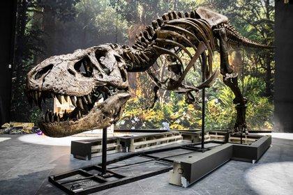 Esqueleto de un Tyrannosaurus rex en un museo. EFE/EPA/BART MAAT/ Archivo