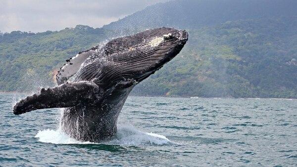 La especie mysticetus se encuentra en Groenlandia y es una de las más imponentes ya que puede llegar a pesar más de 100 toneladas