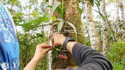 Dentro del Plan de Manejo Ambiental, Social, Integrado y Sostenible para la reserva forestal protectora nacional de la cuenca alta del río Mocoa, se realizó la propagación, identificación, cultivo y conservación de 64 especies de orquídeas, 10 especies de bromelias, 5 especies de musgos, 5 especies de hepáticas, 1 especie de liquen y 5 especies de helechos arborescentes. Foto: Invías.