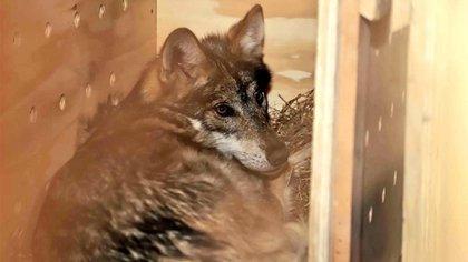 Un ejemplar de un lobo mexicano (Foto: Facebook@GobTlaxcala)