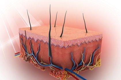 La piel se compone por la epidermis, nervio, dermis, hipodermis, pelo, glándula sebácea, terminación nerviosa libre, vasos capilares, músclo, arteriola, grasa, colágeno y microblastos (Shutterstock)