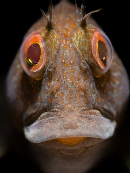 """Retrato de un Blenny variable"", fotografía de Malcolm Nimmo (UPY 2021)"