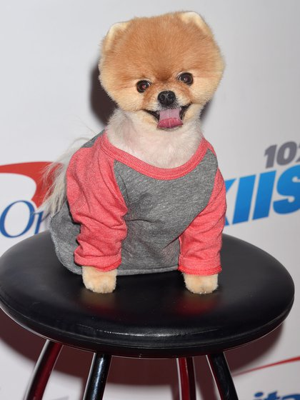 """JiffPom es un pequeño perro de Pomerania que tiene dos récords mundiales Guinness por su velocidad en solo dos de sus cuatro patas. A menudo se le ve con atuendos de moda en sus múltiples apariciones de celebridades, incluido el video musical de la canción de Katy Perry """"Dark Horse"""" (Shutterstock)"""