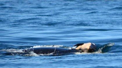 Se cree que la cría murió el martes 24 de julio frente a las costas de Victoria, en Canadá
