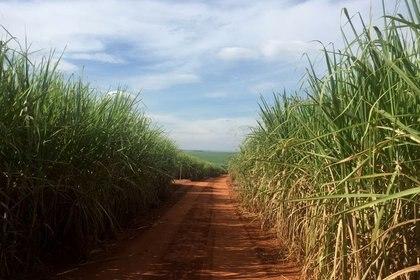 Foto de archivo de un campo de caña de azúcar en Ribeirao Preto, Brasil  May 2, 2019.    REUTERS/Marcelo Teixeira