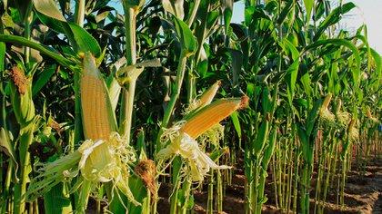 En el caso del maíz, se comercializaron en el Matba Rofex 1,7 millón de toneladas, lo que significó un alza del 44% en comparación al 2019