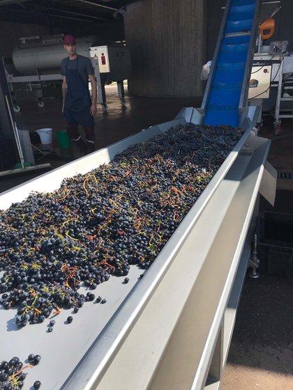 Cinta de recepción de uvas