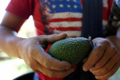 Michoacán es el primer productor del mundo de esta fruta, cuyo 'boom' comercial también ha traído al Estado mexicano violencia, deforestación y precariedad laboral (Foto: Archivo)