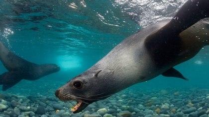 El pene de lobos marinos se utiliza para la medicina tradicional china (Foto: Archivo)