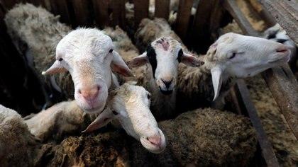 Las granjas de cabras podrían ser el foco de un nuevo brote de neumonía en Holanda.