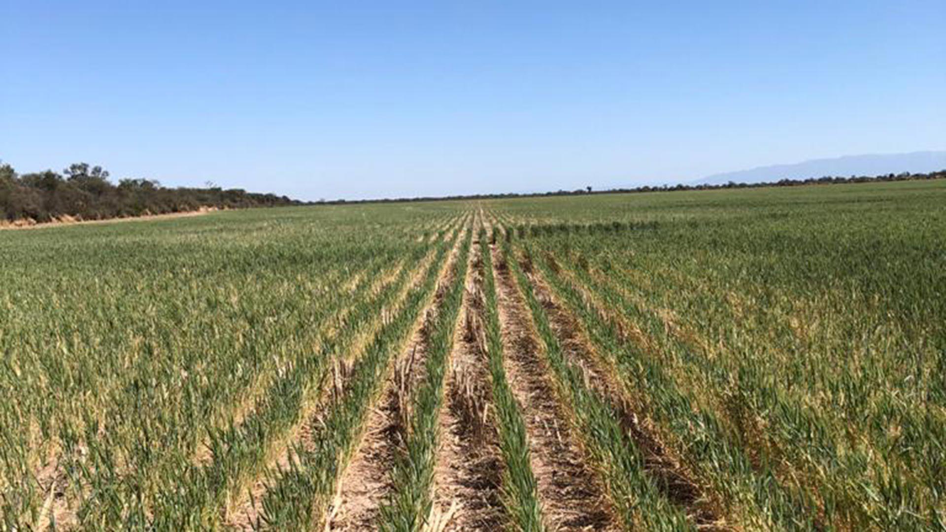 sequía-trigo-tucumán