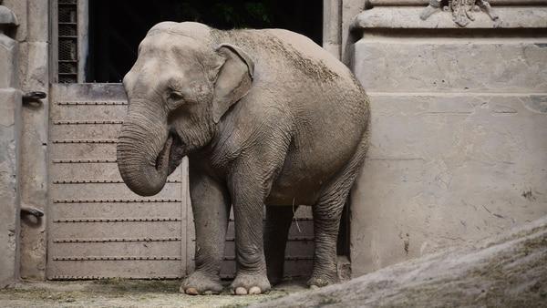 Mara espera ser trasladada al Santuario de Elefantes de Brasil. (Matias Arbotto)