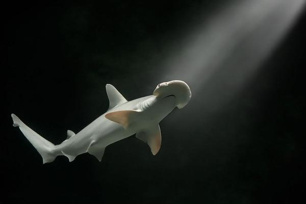 El hallazgo comprueba por primera vez la habilidad de ciertos tiburones de digerir plantas