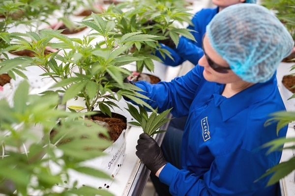 La industria del cannabis está creciendo (Bloomberg / James MacDonald)