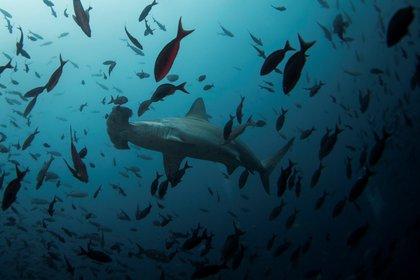 Un tiburón martillo nada cerca de la Isla del Lobo en la Reserva Marina de Galápagos el 19 de agosto de 2013. Foto tomada el 19 de agosto de 2013.  REUTERS/Jorge Silva/Archivo Foto