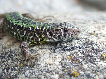 El lagarto verdinegro, una de las 10.064 especies de reptiles que conformaron el catálogo de los científicos