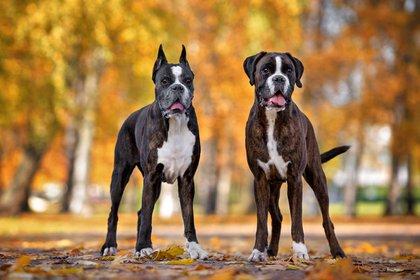 Boxer (Foto: Shutterstock)