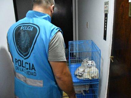 Jaula: varios de los gatos encontrados por la Policía de la Ciudad y el CIJ.