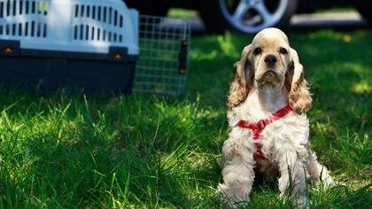 Según la especialista, es importante que los viajes sean cortos hasta que la mascota se acostumbre (Getty Images)