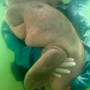 In this Thursday, May 23, 2019, photo, an official of the Department of Marine and Coastal Resources hugs Marium, a baby dugong separated from her mother, near Libong island, Trang province, southern Thailand. The baby dugong that has developed an attachment to humans after getting lost in the ocean off southern Thailand is being nurtured by marine experts in hopes that it can one day fend for itself.(Sirachai Arunrugstichai via AP)