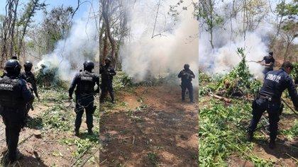 Queman plantío de Mariguana en Sinaloa, México (Foto: Secretaría de Seguridad Pública de Sinaloa)