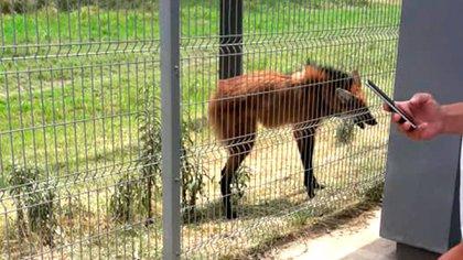 Rescataron a un animal casi extinto que escapó de los incendios forestales en Chaco (@DamianKuc)
