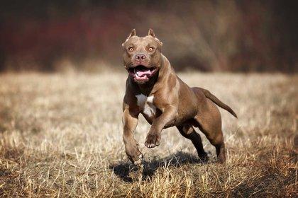 El american pit bull terrier nació en los Estados Unidos, y es descendiente del staffordshire bull terrier, una mezcla entre el antiguo bulldog y el terrier. Su esperanza de vida es de 8 a 15 años