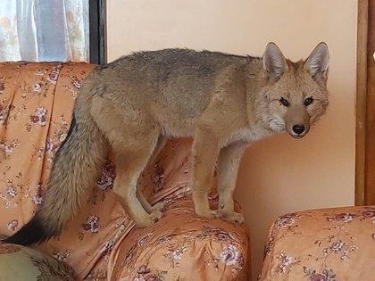 Fotografía cedida por la familia Velasco que muestra al zorro andino Antonio cuando vivía con ellos en Oruruo (Bolivia). EFE/Cortesia Familia Velasco