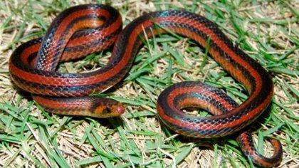 La Atractus Marthae puede medir entre 10 y 30 centímetros de longitud. (Fotos Grupo de Estudios de Anfibios y Reptiles de Santander)
