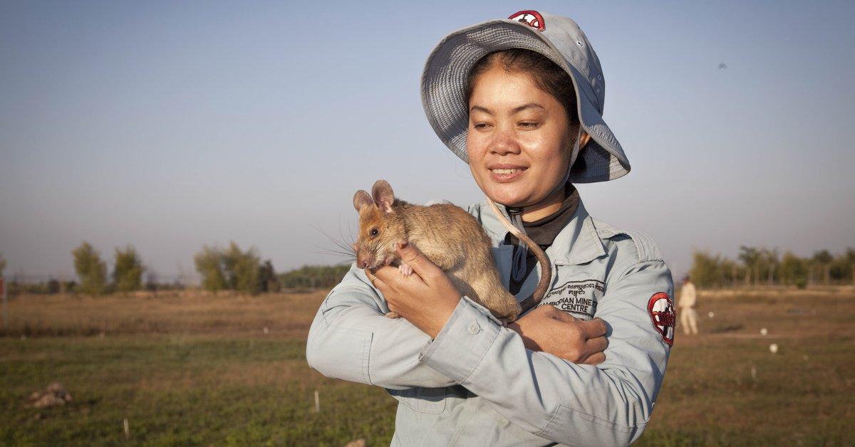 Cambodia's most famous minesweeper Rat retires
