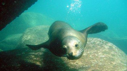 Numerosas colonias de lobos marinos habitan nuestro océano. Foto: Fundación Foro para la Conservación del Mar Patagónico.
