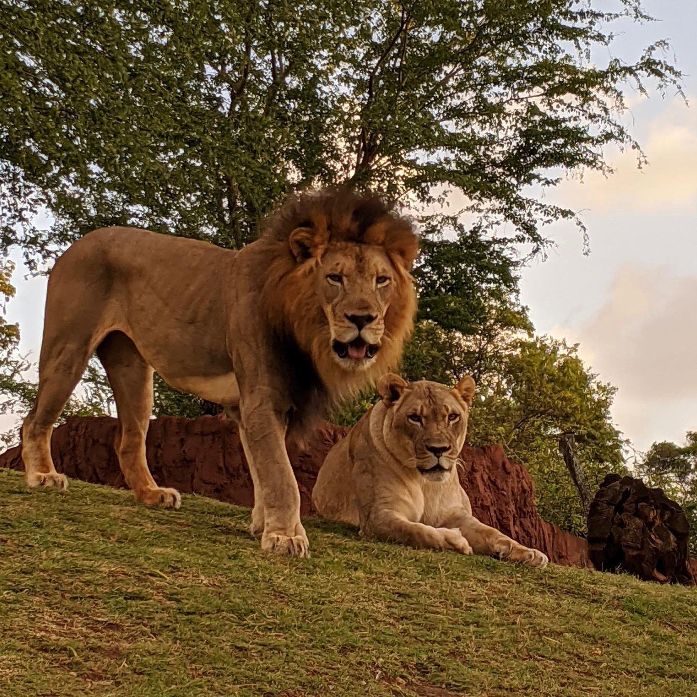 Fotografía divulgada por el zoológico de Honolulu donde aparece el león africano macho Ekundu (i), de 13 años y que murió por contagio de la covid-19 y la leona Moxy, que dio positivo pero sobrevivió. EFE/Zoológico de Honolulu